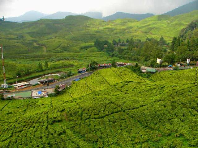 kebun teh di kawasan puncak bogor