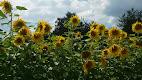 Sunflowers to take home