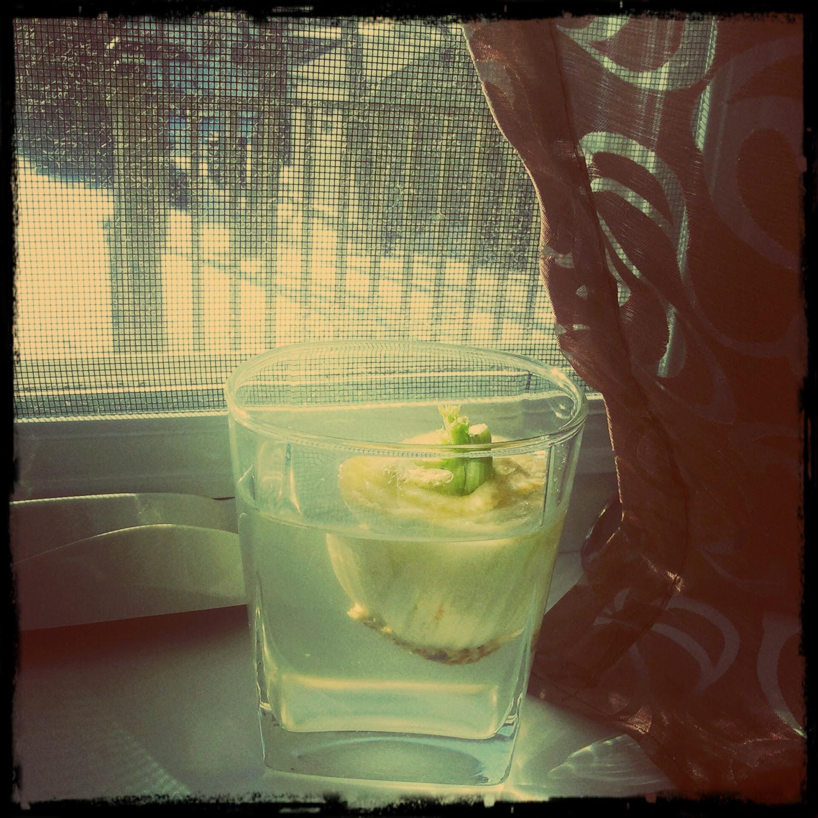 Verojohnson faire pousser du celeri - Que faire avec les feuilles de celeri ...