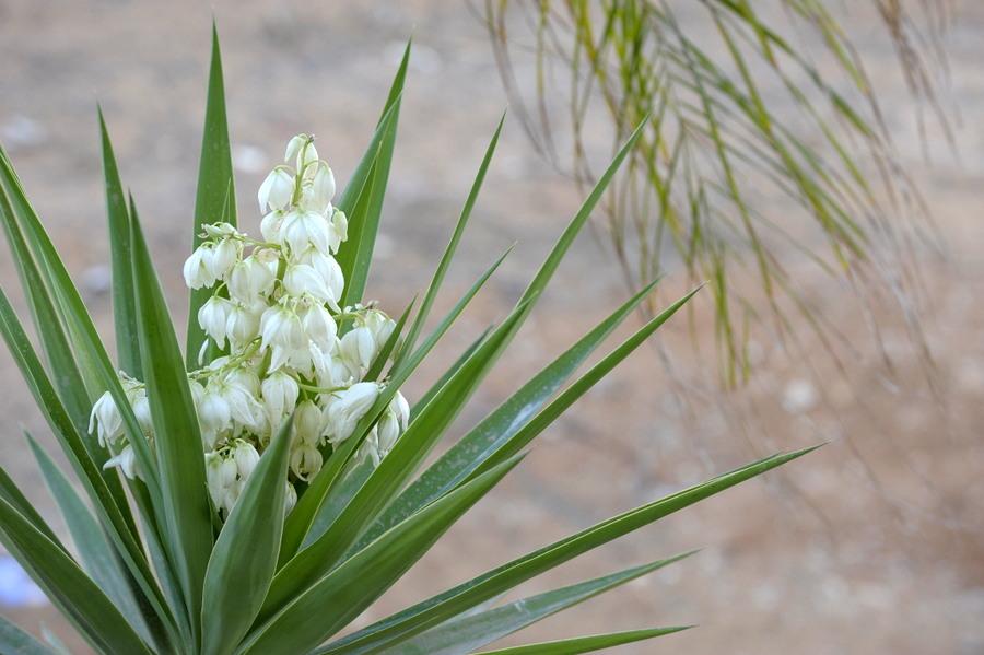 palmtree blooming