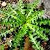 Ταραξάκο: Ένα θαυματουργό Ελληνικό φυτό. Οι θεραπευτικές του ιδιότητες