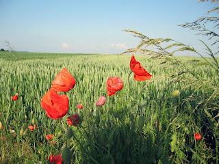 Cvijeće maka, proljeće slike besplatne pozadine za desktop download