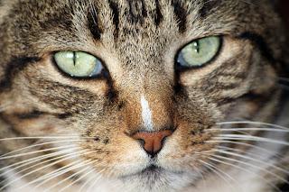 A toxoplasmose é transmitida por meio dos felinos, como gatos