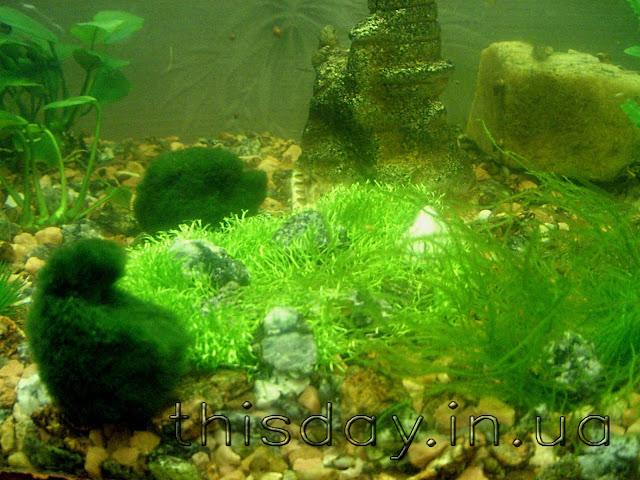 риччия подводная