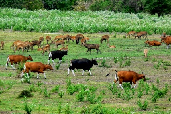 Hutan Tua Pulau Jawa Penuh Misteri ~ Taman Nasional Alas Purwo