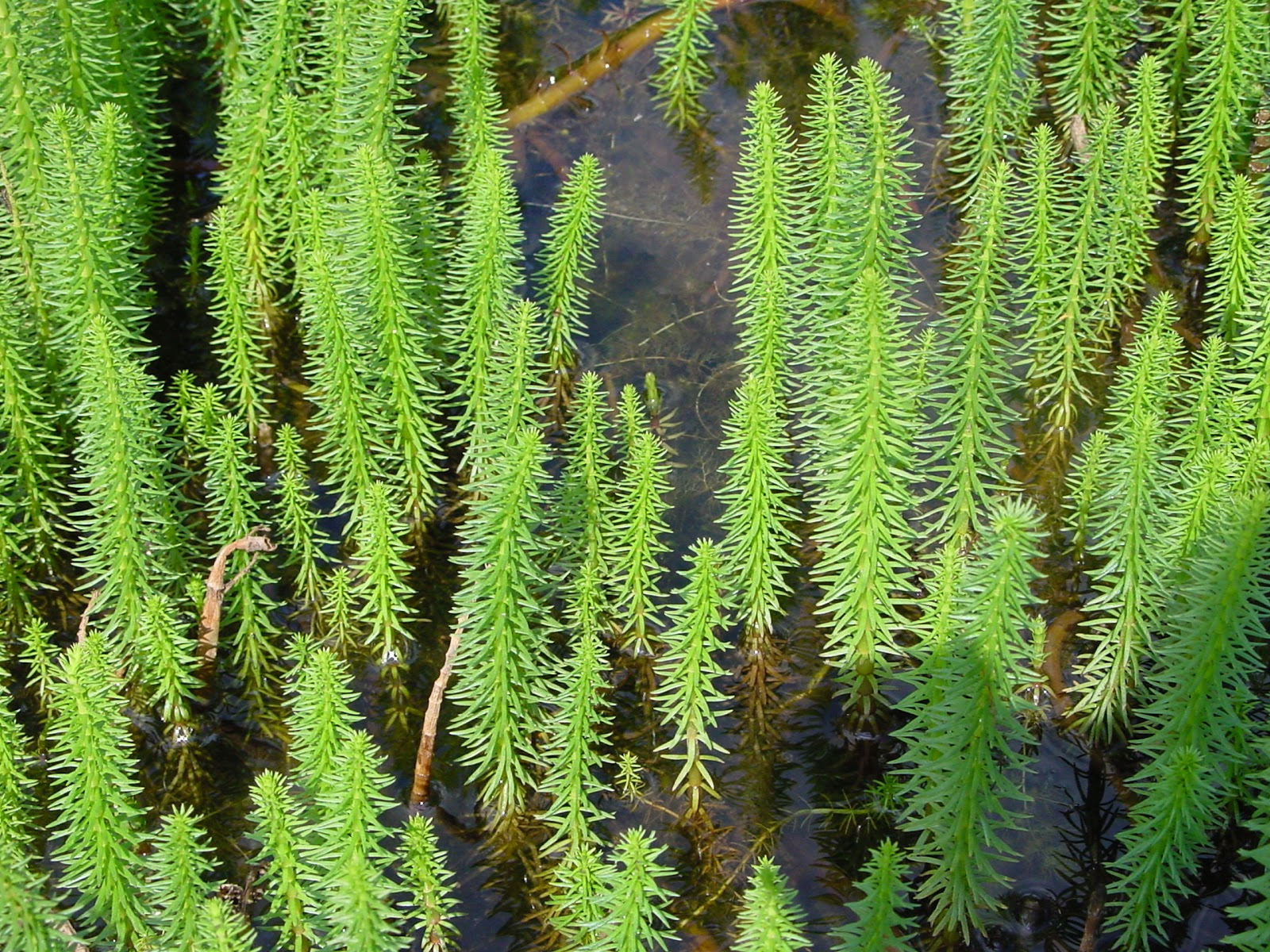 Jardineria eladio nonay plantas ribere as y palustres - Jardineria eladio nonay ...