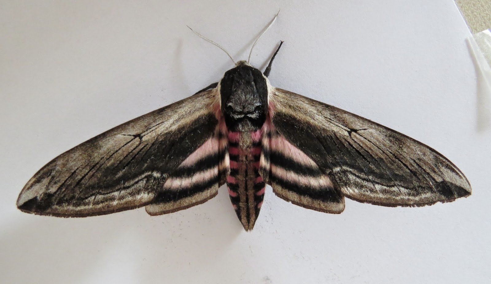 Privet hawk moth - photo#25