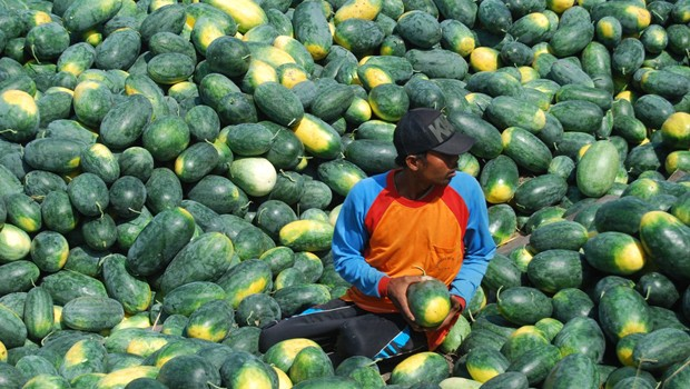 Petani di Demak, Jawa Tengah saat panen semangka jenis Inul di Desa Bango, Kecamatan Demak Kota