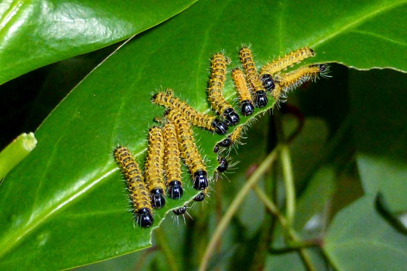 Nudaurelia wahlbergii caterpillar
