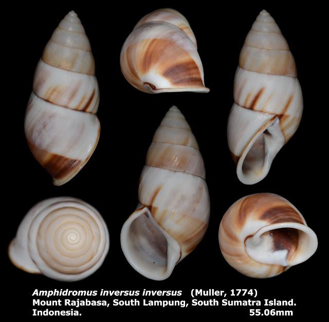 Amphidromus inversus inversus 55.06mm