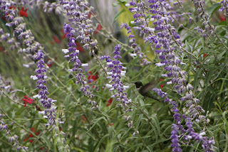 salvia leucantha salvia silkes dream