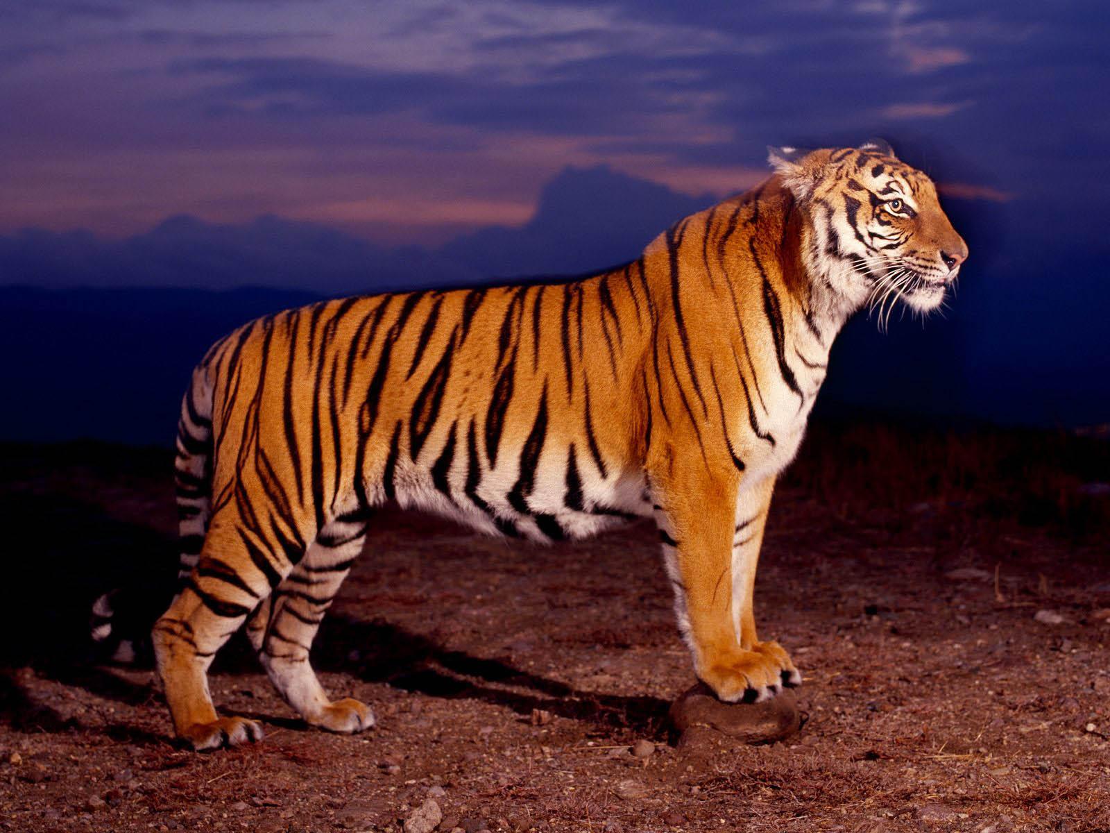 Wallpaper Dan Gambar Harimau Berukuran Besar