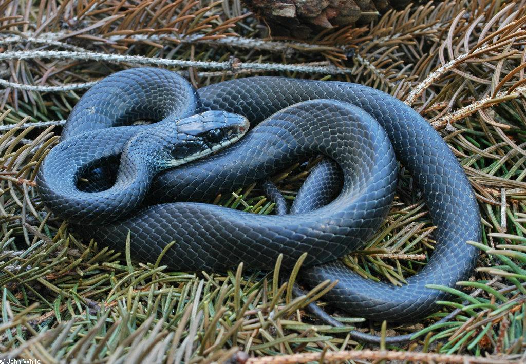Snakes Blue Racer Snakes