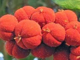 「ロットレリン」を含む 「クスノハガシワ」の果皮