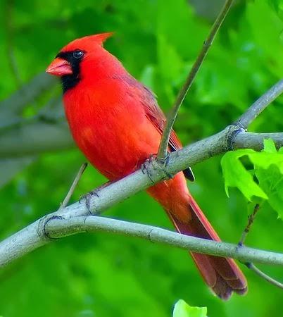 Birds courtship display patch