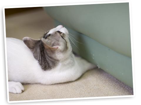ソファの下にボールを隠す子猫