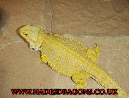 Lizards and More Lizards: Photo of Super Citrus Bearded Dragon