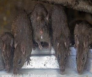 Tikus kanibal