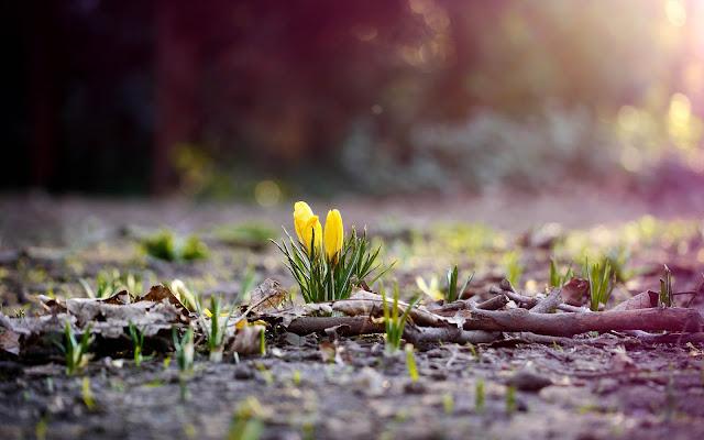 Gele krokussen komen uit de grond in de lente