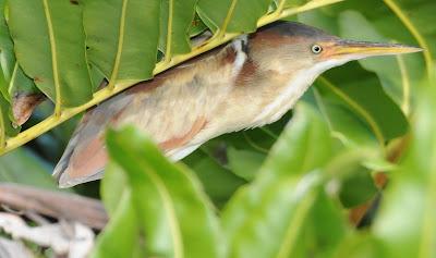 Least Bittern (Ixobrychus minutus)