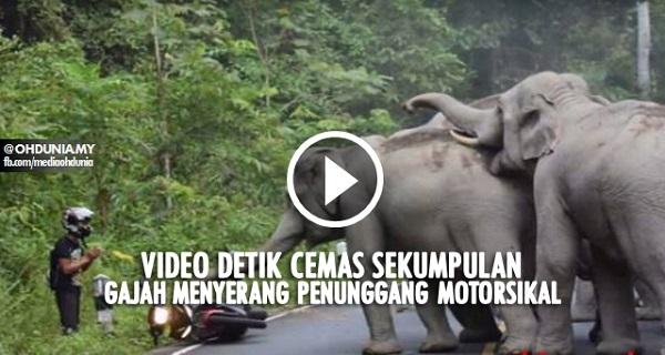 detik cemas sekumpulan gajah serang penunggang motorsikal