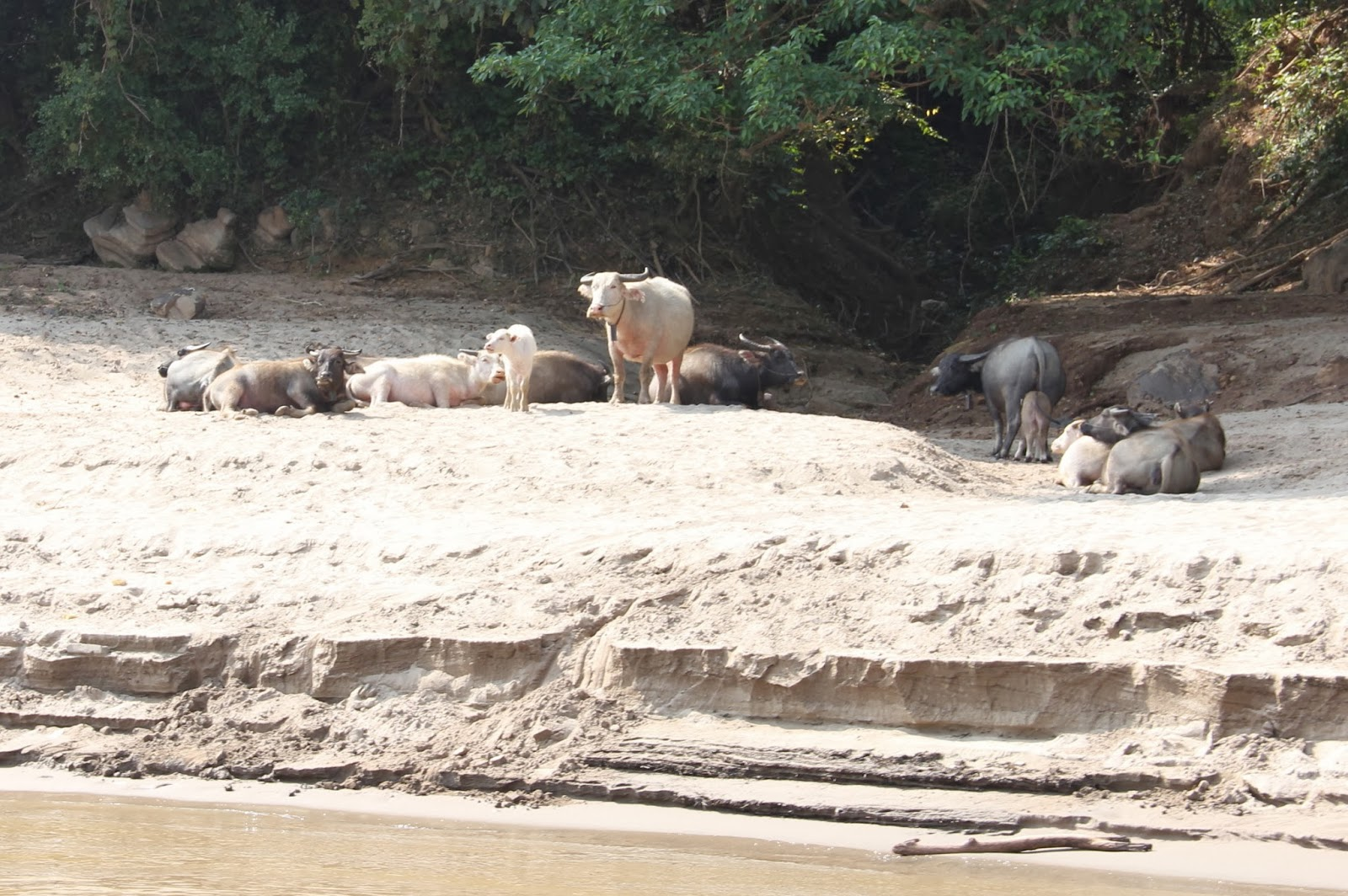 Water buffalo along the bank of the Mekong River.