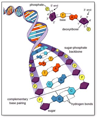 Worksheets Chapter 11 Dna And Genes Worksheet Answers worksheets chapter 11 dna and genes worksheet answers laurenpsyk a different way march 2011 how much information