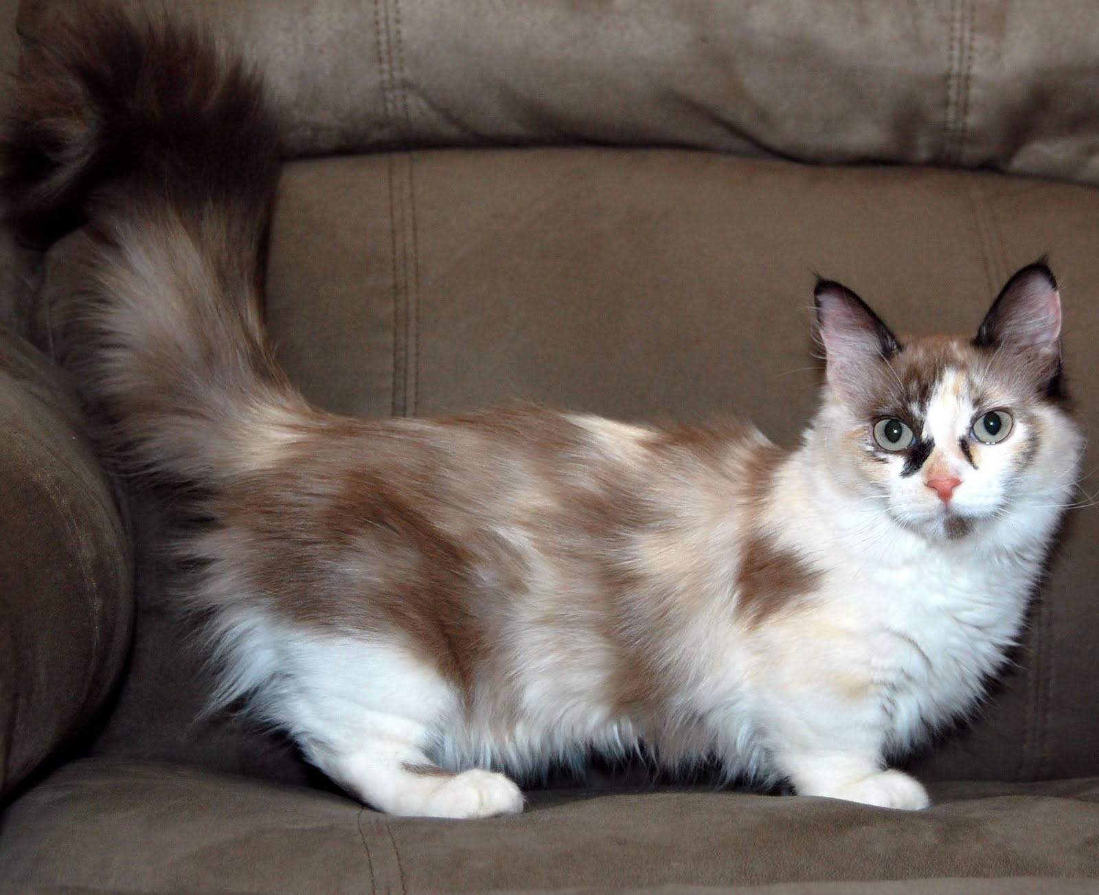 Cats with short paws. Munchkin cat breed - photo 33