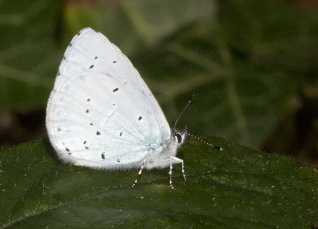 Holly Blue butterfly, Celastrina argiolus, side view, by the roadside in Hayes Common, 11 July 2011.