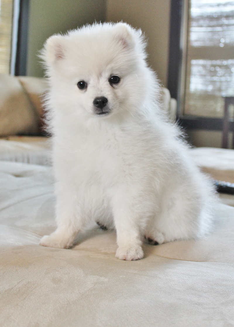 Picture Of An Eskimo Dog