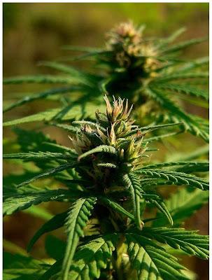cultivar cannabis en exterior