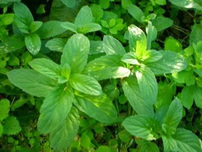 cinsel performansı arttıran bitkiler,cinsel güç,nane çayı,Nanenin Faydaları