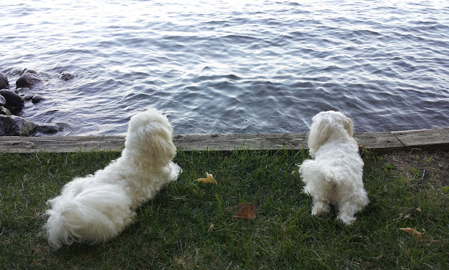 dog enjoying the lake maltese dogs prior lake minnesota