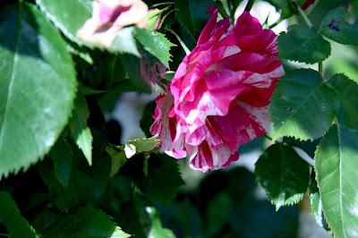 roser gammeldagse roser