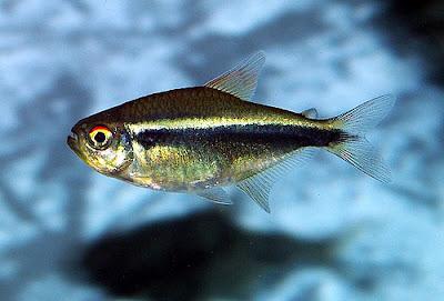 Bystrzyk axelroda - ryby akwariowe - zdjęcia 02