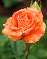 poze trandafir