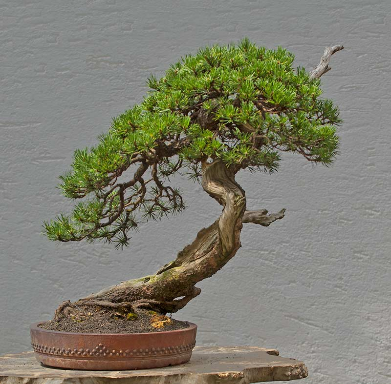walter pall bonsai adventures mugo pine 2. Black Bedroom Furniture Sets. Home Design Ideas