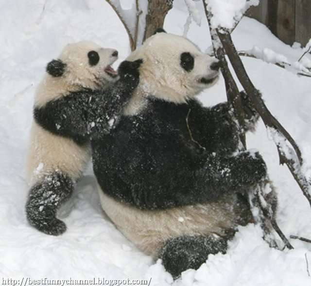 Pandas in the snow.