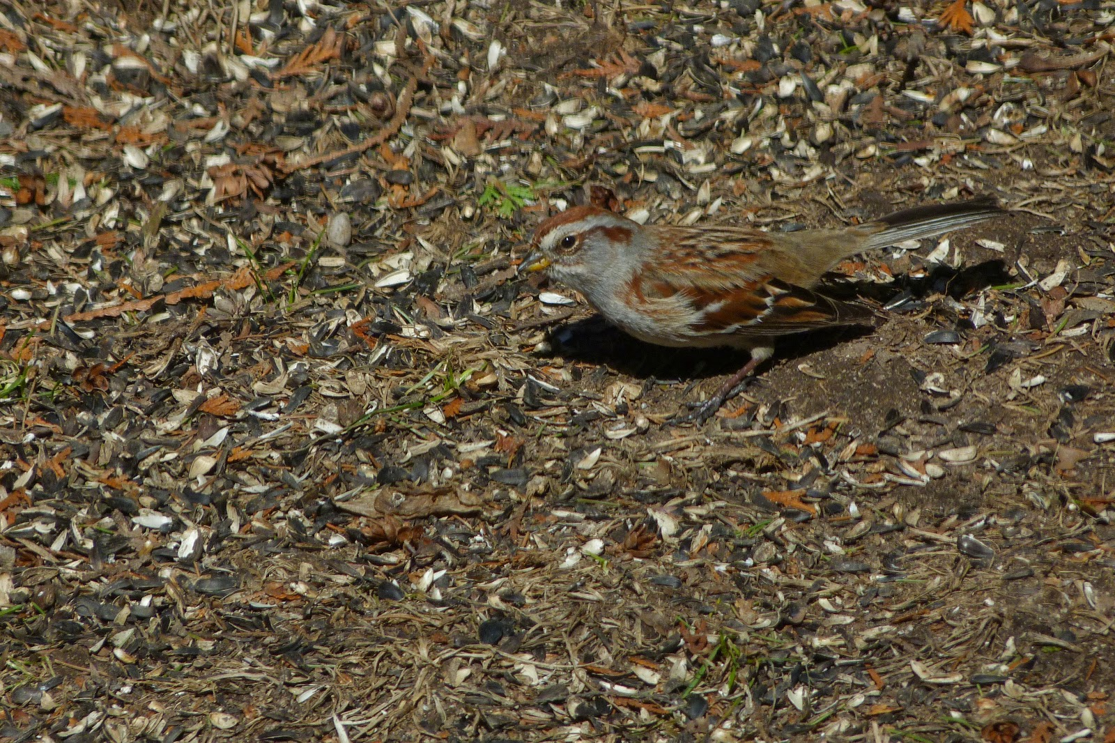 American Tree Sparrow beak