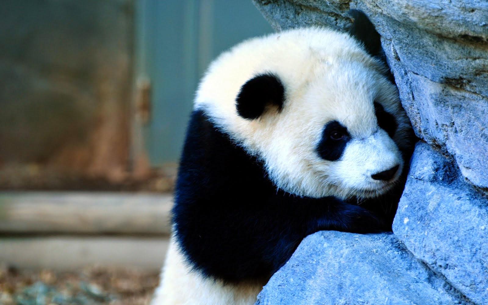 gambar panda lucu gambar panda