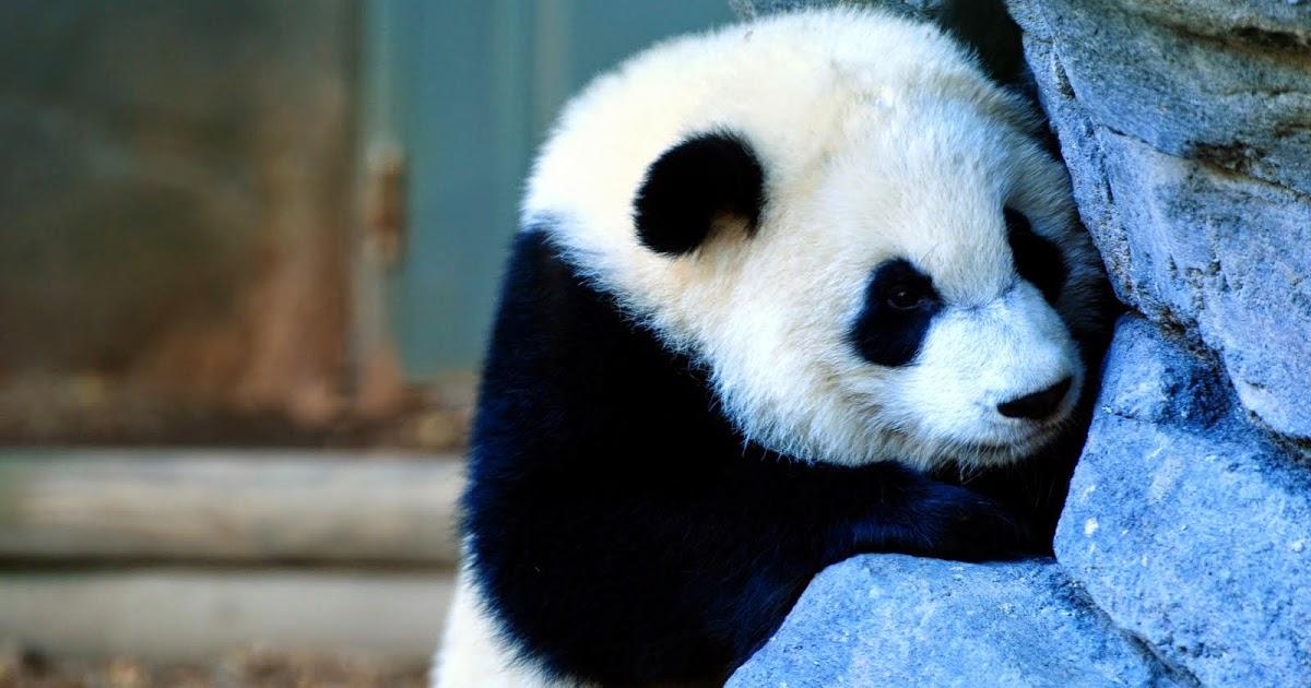 Gambar Panda Lucu Serta Asal Usul Panda Ayeey Com