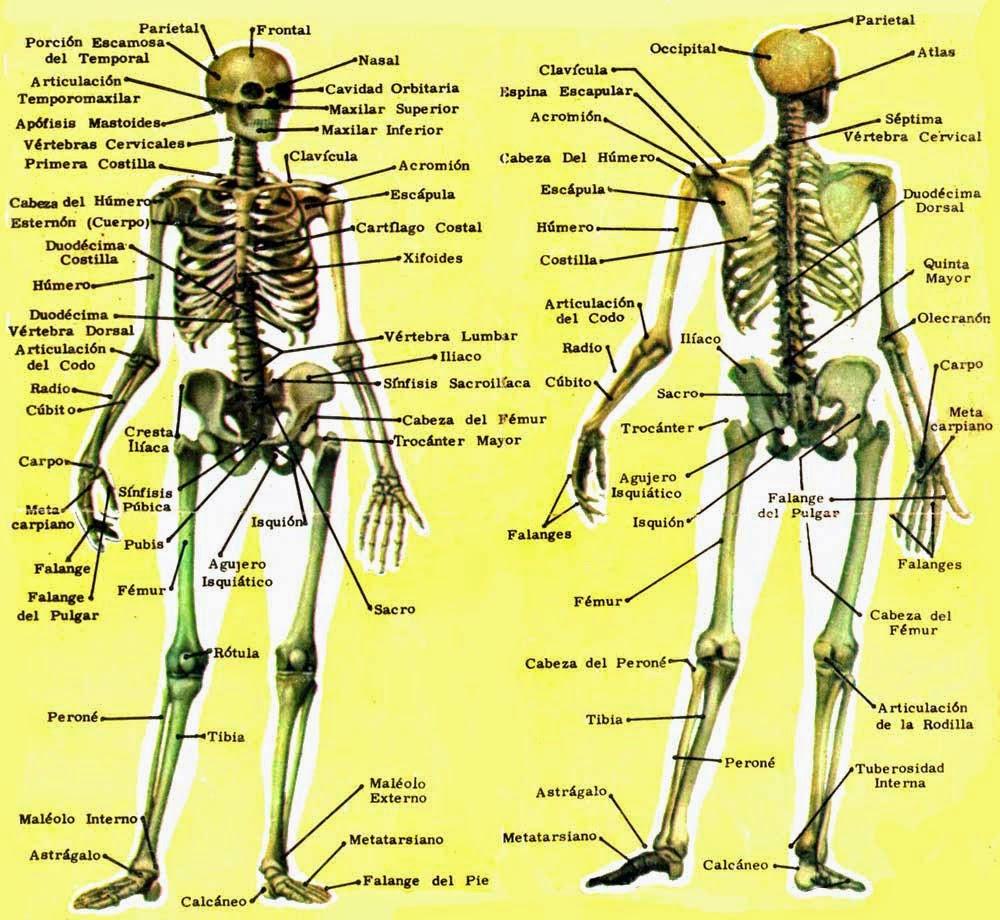 EL ESQUELETO HUMANO   Sistema Oseo humano