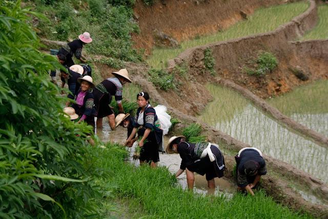 Conjunto de mujeres trabajando en las terrazas de arroz.