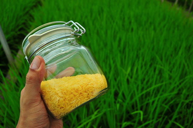 Militant Filipino farmers destroy Golden Rice GM crop