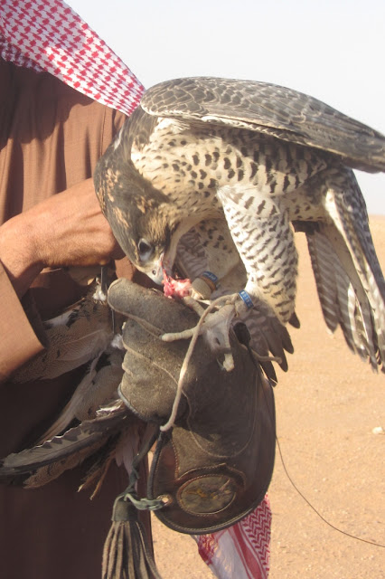 Falcon-Eats-Pigeon-Saudi-Arabia
