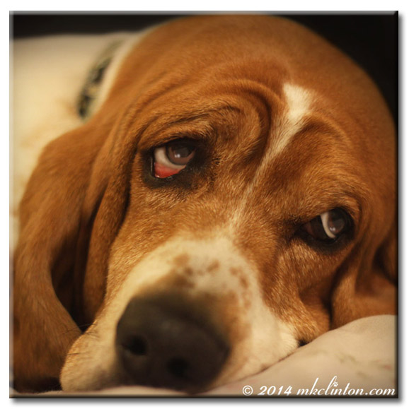 Close-up of Bentley Basset's face