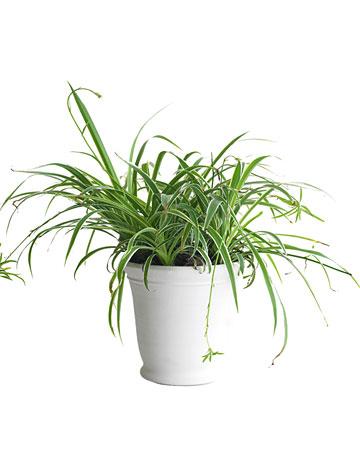 Una casa sana plantas purificadoras 5 cinta - Cinta planta ...
