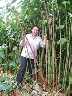 sakhalin bamboo