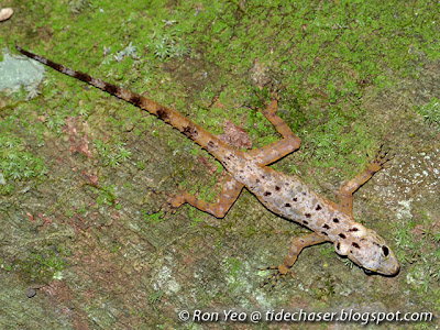 Kendall's Rock Gecko (Cnemaspis kendallii)
