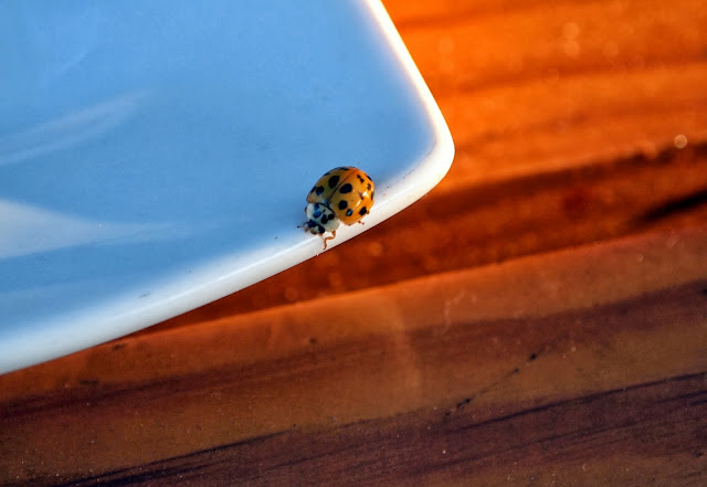 Lady bug, Croatia